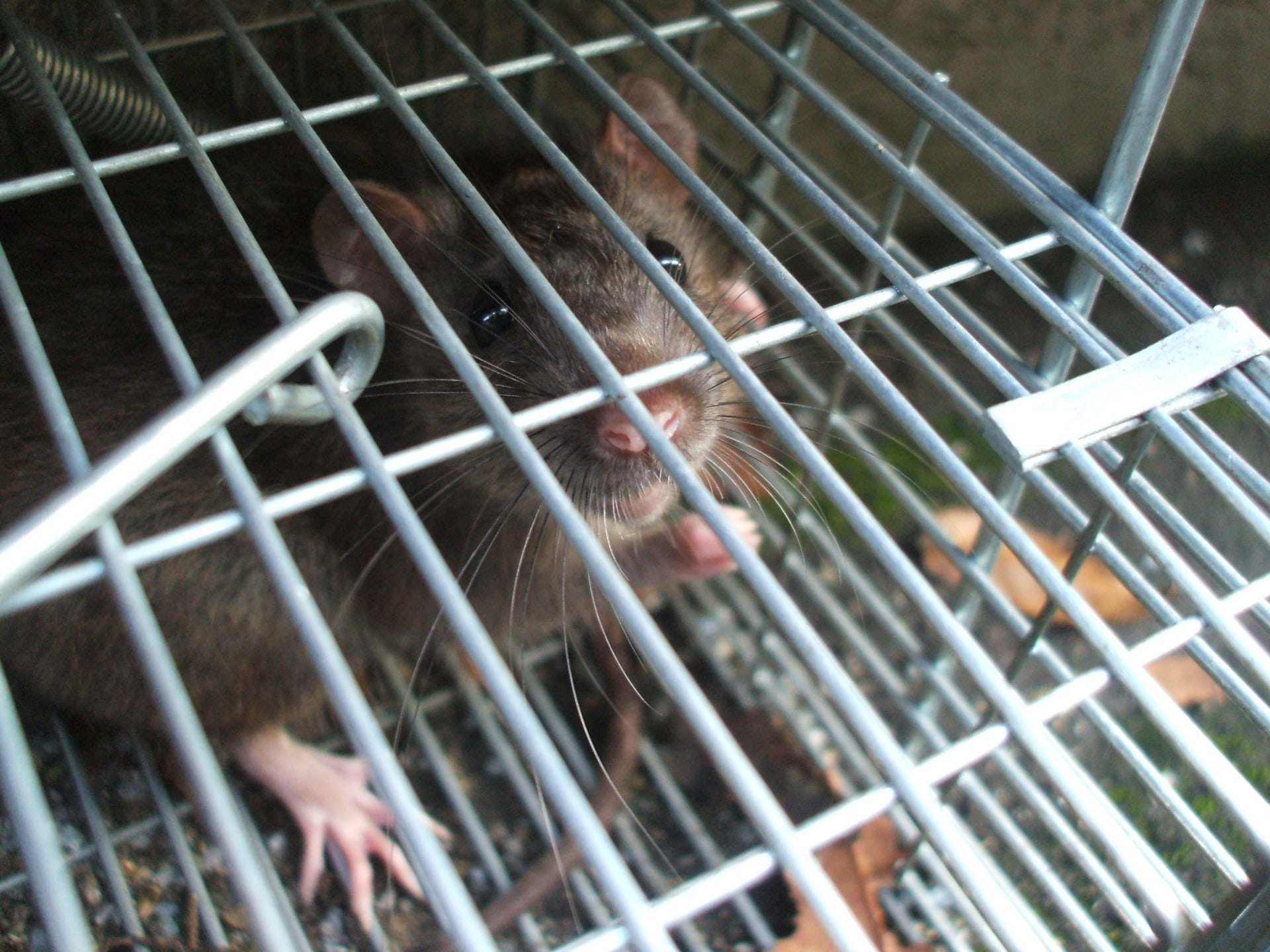 築地市場からあなたの家に?ネズミや小動物がもたらす被害